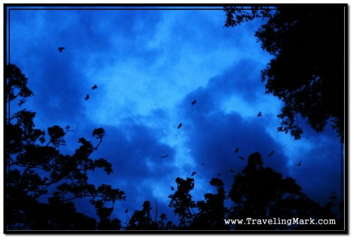Fruit Bats Waking Up from Their Dwellings in High Trees Into the Night in Cambodia