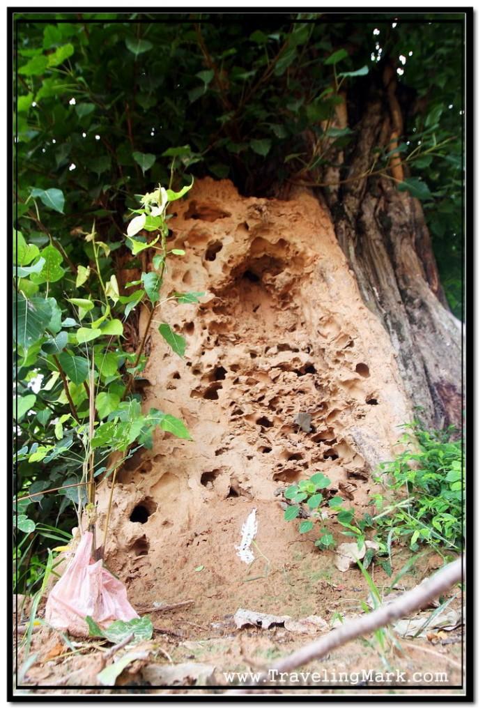 Photo: Tree Eaten by Termites at Wat Damnak