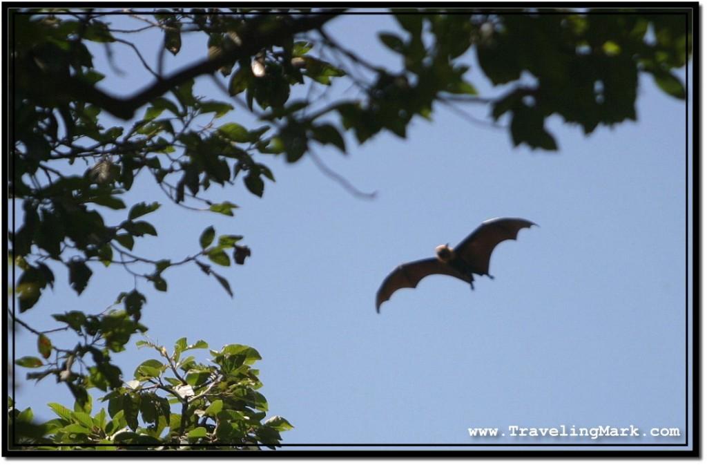 Photo: Silouhette of a Huge Bat Flying Above High Trees