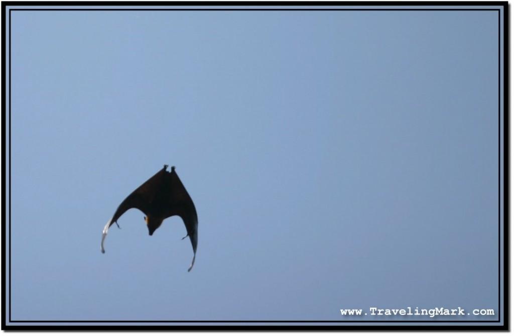 Photo: Fast Flying Fruit Bat