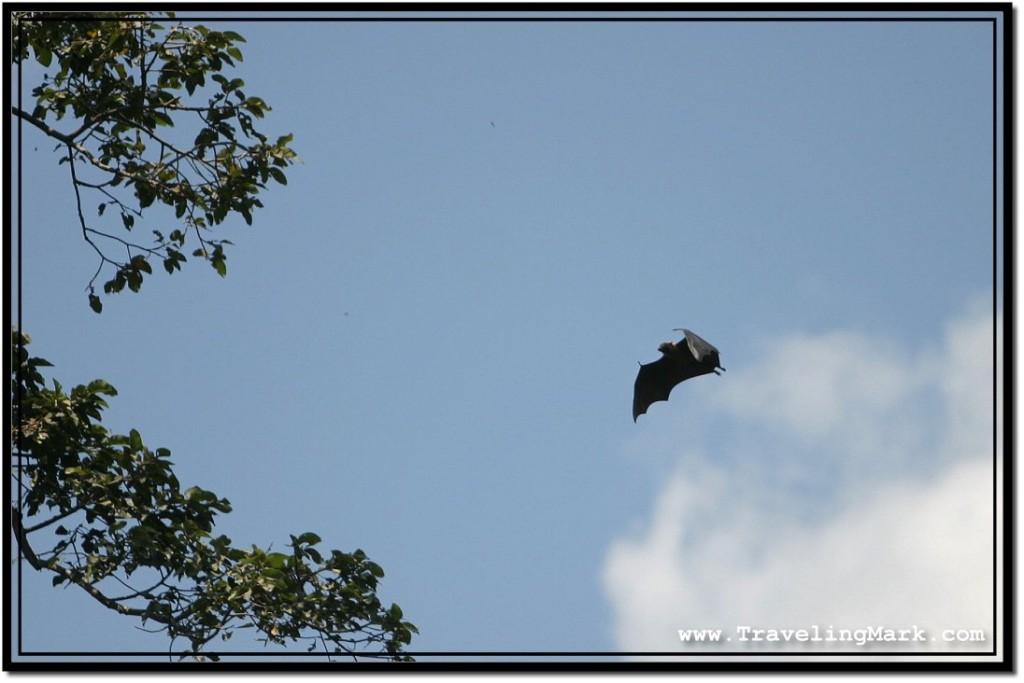 Photo: Flying Fox Swinging Its Wings in Flight