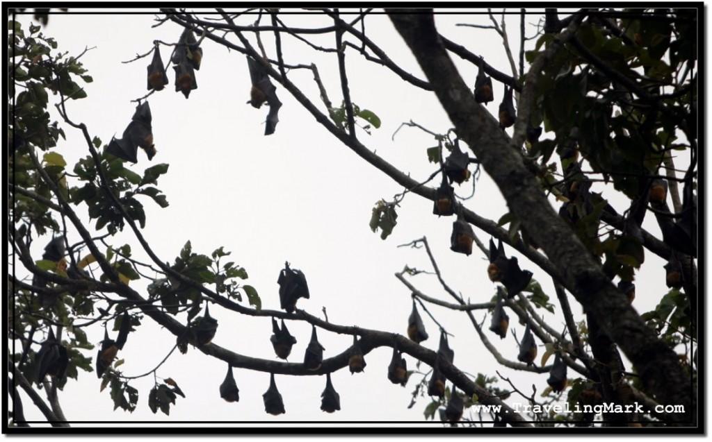 Photo: Fruit Bats Sleeping Upside Down