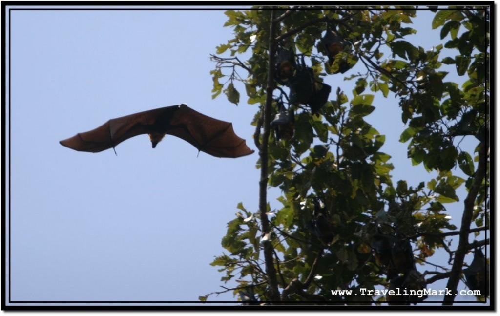 Photo: Huge Fruit Bat Flying Off a Tree Branch