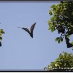 Photo: Fruit Bat Flying Like Batman Against The Sky
