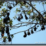 Photo: Sleeping Flying Foxes Look Like Black Fruit Hanging Off a Tree