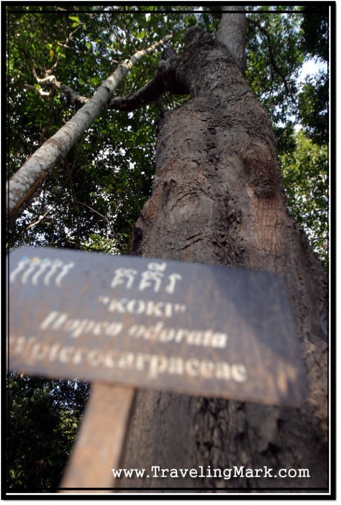 Photo: Koki Tree With Its Name Plate Alongside the Road to Angkor Wat