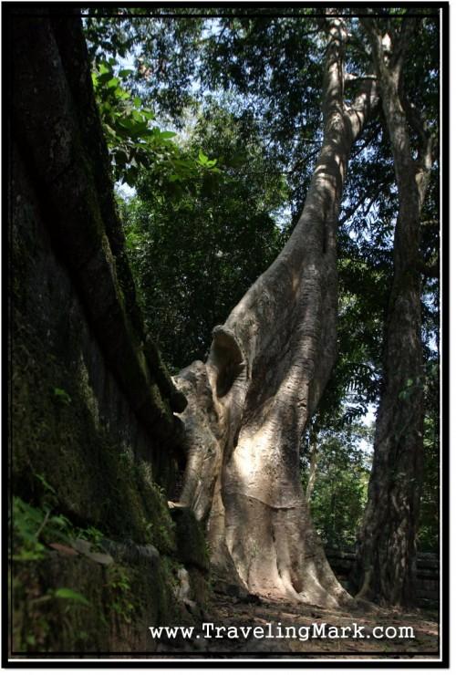 Photo: Huge Tree Growing on Top of Stone Wall at Vihear Prampil Loveng