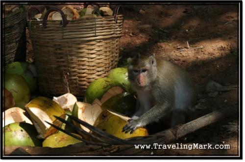 Photo: Monkey Munches on Young Coconut Shells at Angkor Wat