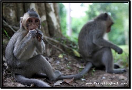 Photo: Angkor Thom Monkeys Feeding on Food from Humans