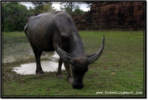 Photo: Asian Water Buffalo at Angkor Archaeological Park