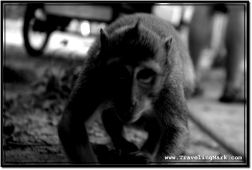 Photo: Monkey at Angkor Thom Creeping In to Check Out What He Could Steal
