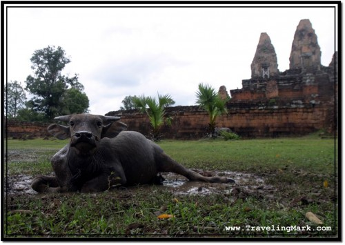 Photo: Water Buffalo Calf at pre Rup Temple, Angkor, Cambodia