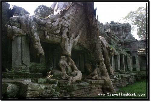 Photo: Huge Silk Tree Growing Over the Enclosing Wall of Preah Khan, Angkor