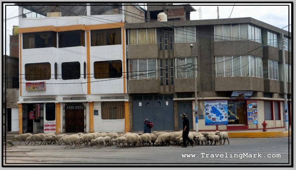 Photo: Sheep Herder Takes Up Morning Road in Puno, Peru
