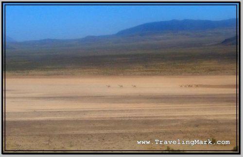 Photo: Wild Roaming Vicunas in Reserva Nacional Salinas y Aguada Blanca