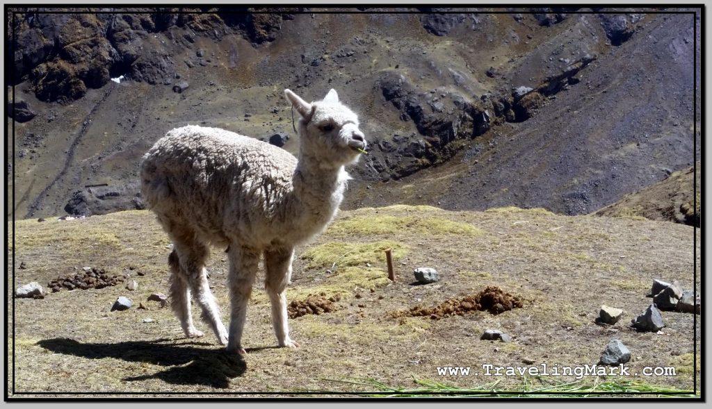 Photo: Alpaca Calmly Grazes on Grass Along the Trail to Rainbow Mountain